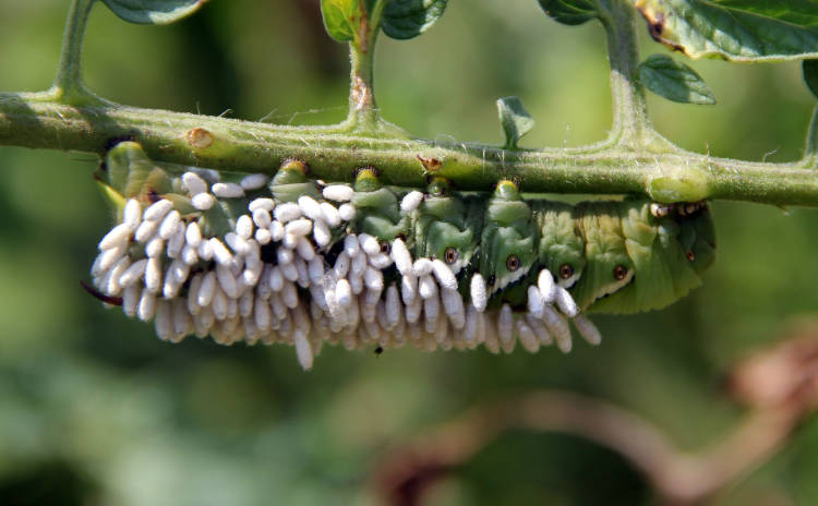 Tomato Horn Worm attacked by Braconid Wasp
