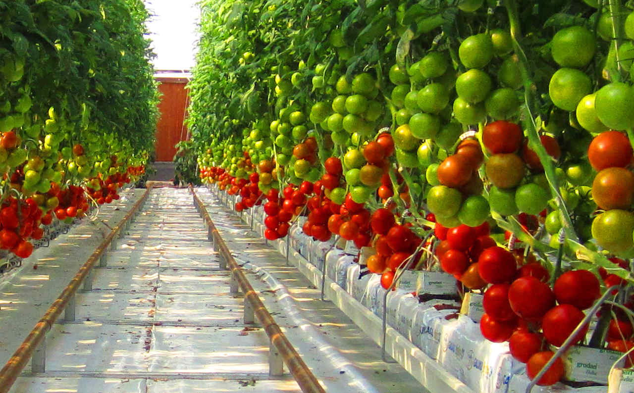Tomatoes growing in Sundrop's 2016 greenhouse